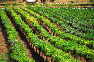 Quality Wine Comes From California